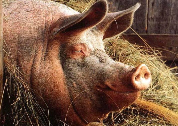Инфекционные болезни свиней: симптомы и лечение