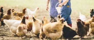 Чем кормить цыплят с первых дней жизни, таблицы и нормы по неделям