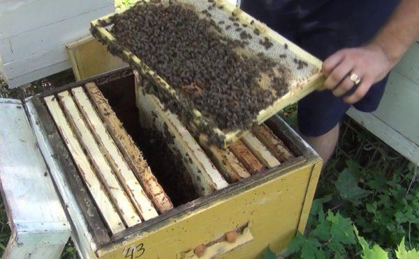 Как определить факт наличия клещей у пчел?