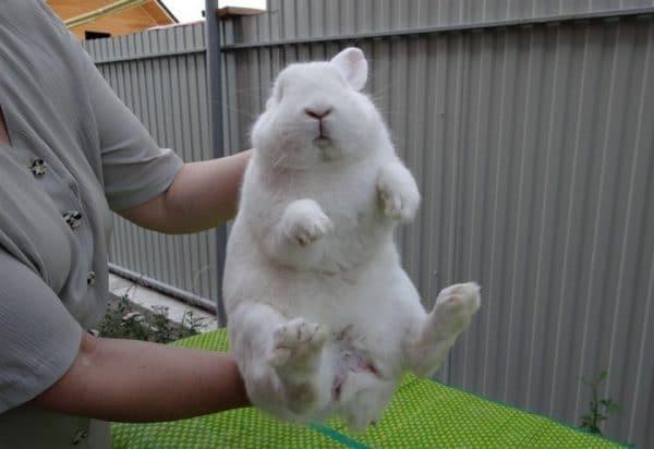 Как отличить кролика от крольчихи?