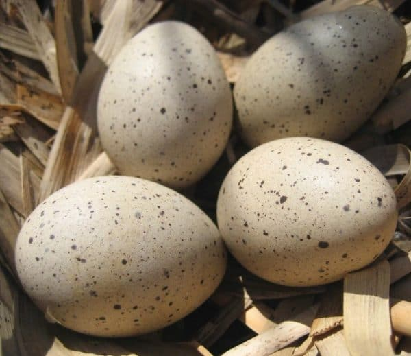 Отбор утиных яиц и подготовка к инкубации