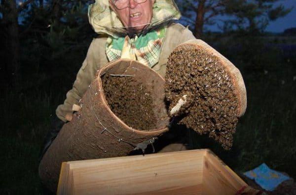 Временный улей из древесного ствола