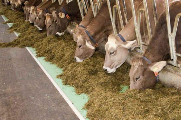 Что влияет на жирность молока