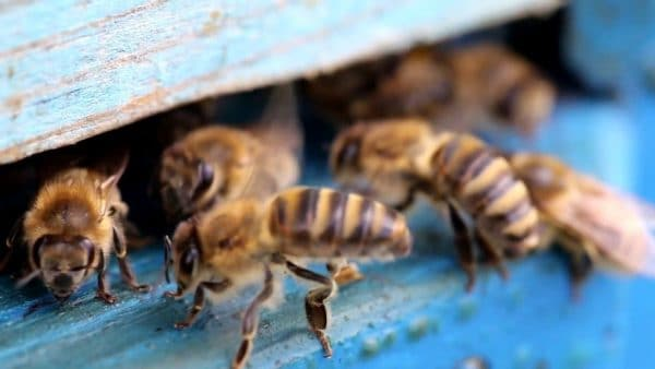 Когда и в каких случаях производится объединение пчелиных семей