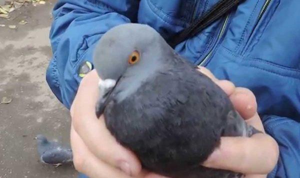 Как ловить голубей правильно