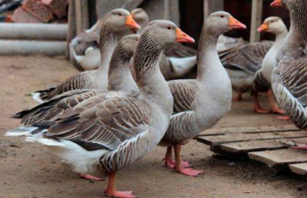 Правила содержания гусей в домашних условиях