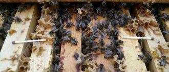 Нозематоз пчел весной: как лечить, профилактика и симптомы
