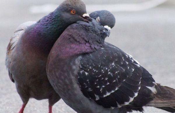 5 способов как отличить голубя от голубки