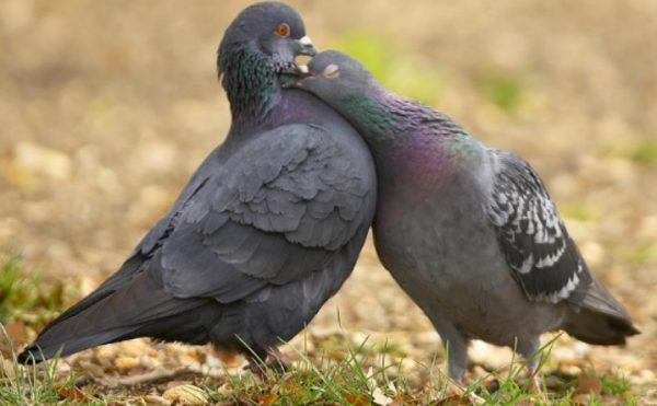 Как отличить голубя от голубки: способы определения пола