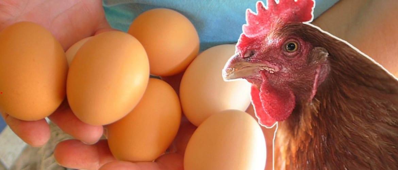 Как определить возраст курицы когда начинают нестись молодки
