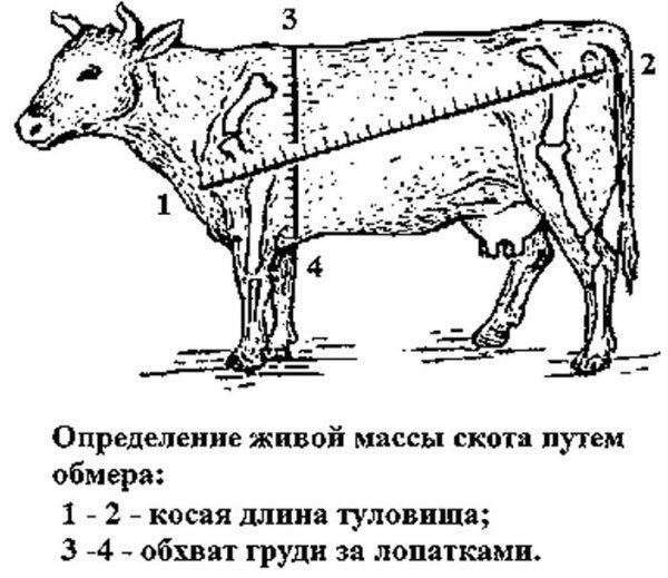 Способы определения живой массы быка (коровы) без весов