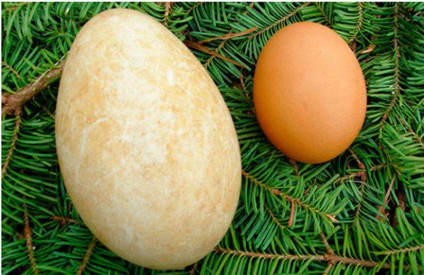 Слева гусиное яйцо, справа — куриное.