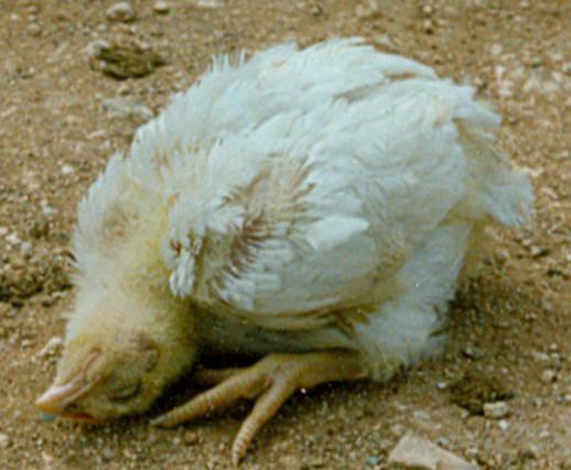 Болезнь Ньюкасла у цыплят.