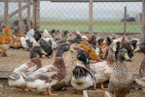 Чтобы при кормлении не возникало конфликтов, каждый вид птицы кормится в отдельном вольере.