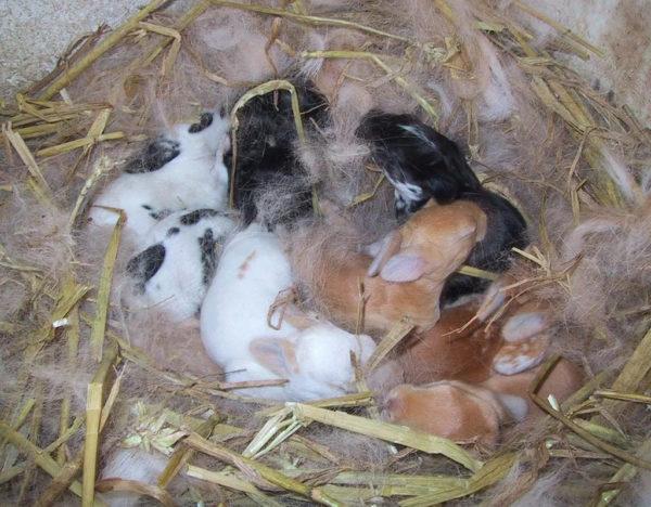 Гнездо для крольчат.