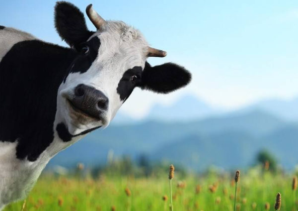 как появились клички коров