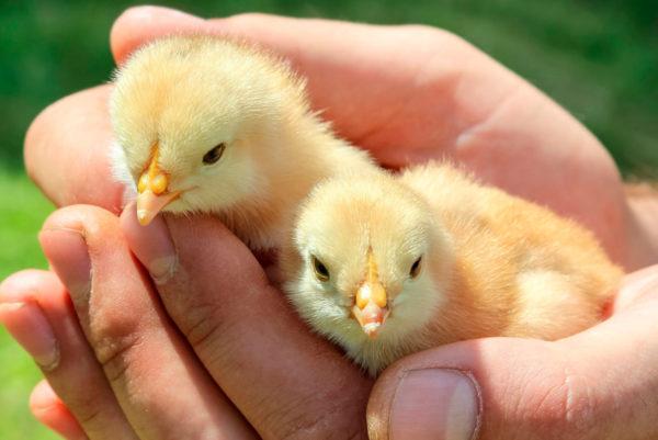 Зачем пропаивать цыплят