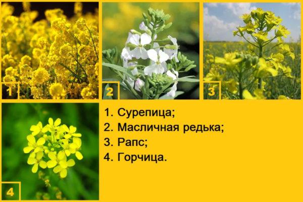 Горчица полевая, сорное растение высотой от 30-60см, и Сурепица и аналогичные масличные(рапсовые) растения вредны для свиней