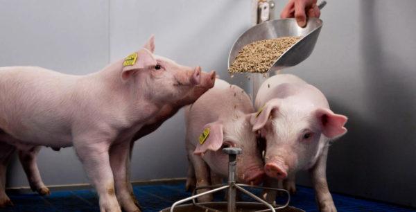 Неправильное питание, нарушение рациона и состава кормов