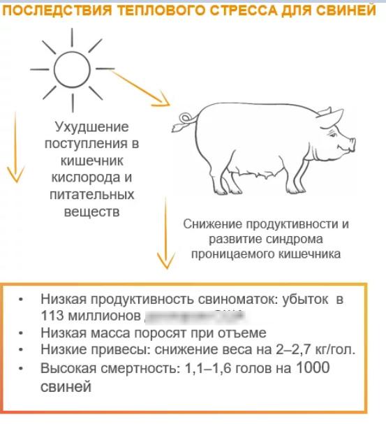 Влияние теплового стресса на свиней — низкие привесы и плохая продуктивность