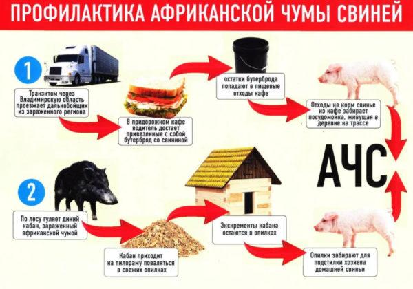 Не обычные источники распространения африканской чумы у свиней