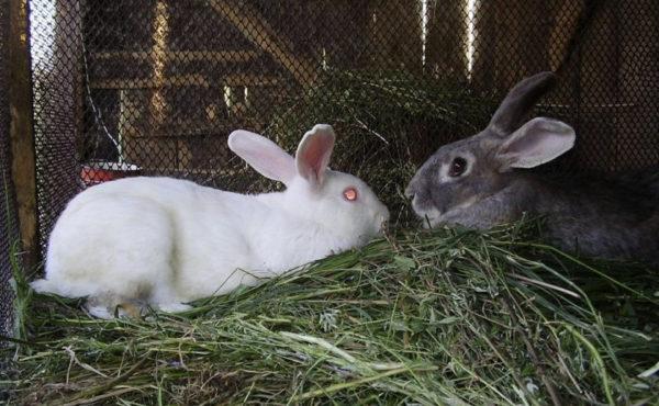 Охота у крольчих