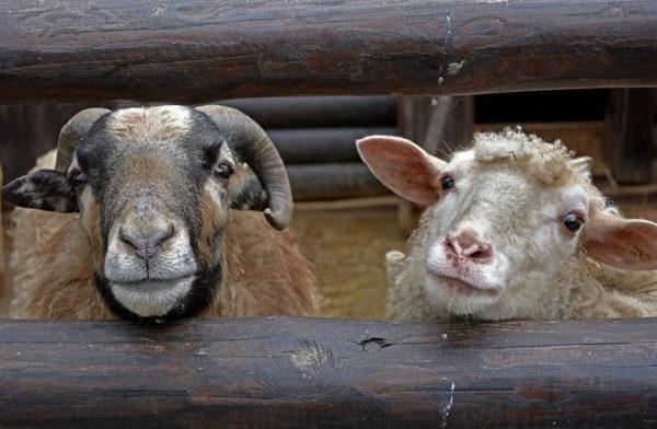 Баран и овца: сходства и различия